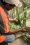 Paradise Taveuni Resort, Taveuni, Fiji; resort guests learn to weave palm fronds in preparation for the Fiji Night Lovo