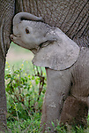 African elephant calf nursing, Amboseli National Park, Kenya
