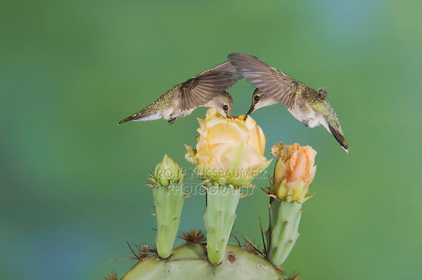 Black-chinned Hummingbird, Archilochus alexandri,two females in flight feeding on Texas Prickly Pear Cactus (Opuntia lindheimeri), Uvalde County, Hill Country, Texas, USA