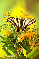 Zebra swallowtail, eurytides marcessus, on wildflower