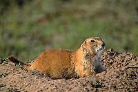 673010004 Black-tailed Prairie Dog Cynomys ludivicanius WILD.Adult at burrow.Texas Panhandle, Texas