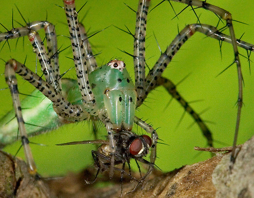"0515-07kk  Green Lynx Spider  Consuming Fly - Peucetia viridans  ""Eastern Variation"" - © David Kuhn/Dwight Kuhn Photography"