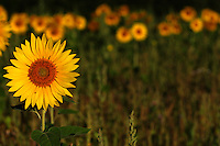 Sunflower Crop  #F19
