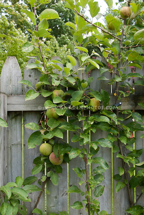 Backyard fruit growing in small spaces, on wooden fence, apples grown at home, apples