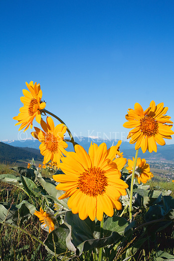 ArrowLeaf balsamroot wildflowers just outside of Missoula, Montana with snow capped Lolo Peak in the distance