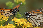 Monarch Butterfly, Danaus plexippus, El Chincua Nature Reserve, pair feeding on yellow flower, nectar, migration, roosting site, lifecycle metamorphosis orange pattern wing.Mexico....