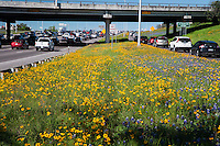Spring time in downtown Austin offers a spectacular view of bluebonnets and Texas wildflowers along interstate highway I-35.