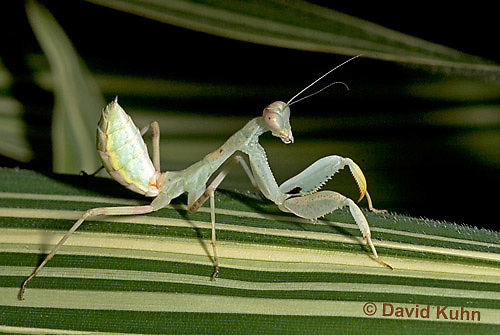 "0718-07oo  Wide armed mantis - Cilnia humeralis ""Nymph"" © David Kuhn/Dwight Kuhn Photography"