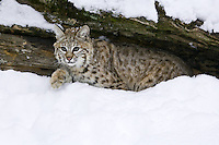 Young Bobcat watching from beneath a snow covered log - CA