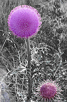 A noxious weed to be sure but this thistle is also very pretty.