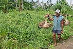 Taveuni, Fiji; an older, local man carries bundles of firewood over his shoulder while walking down the side of the dirt road