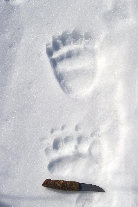 Bear footprints Sarek,Sweden