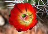 Spring is when the Claret Cup Cactus of the desert southwest of the United States flowers.