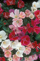 Clarkia 'Sabia' mixed colors, native American wildflower nativar annual flowers