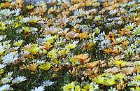 A field of daisies at Kyoto Botanical Gardens in Kyoto, Japan.
