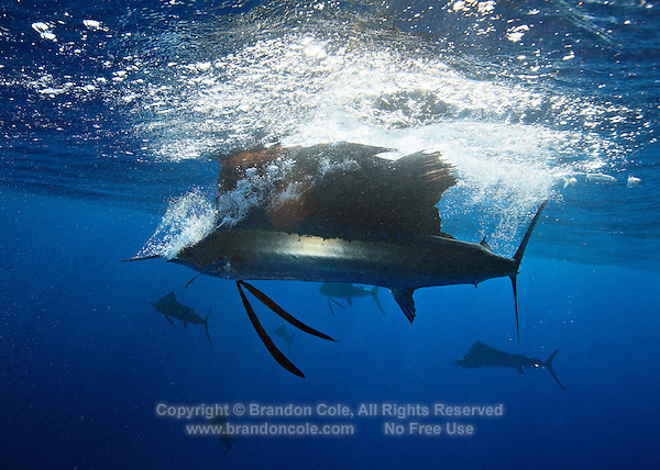 qh0857-D. Atlantic Sailfish (Istiophorus albicans) feeding on sardines. Sailfish has just caught (and swallowed) one at the surface with a quick lunge and turn. Some consider this the same species as the Indo-Pacific Sailfish (I. platypterus). Mexico, Gulf of Mexico..Photo Copyright © Brandon Cole. All rights reserved worldwide.  www.brandoncole.com..This photo is NOT free. It is NOT in the public domain. This photo is a Copyrighted Work, registered with the US Copyright Office. .Rights to reproduction of photograph granted only upon payment in full of agreed upon licensing fee. Any use of this photo prior to such payment is an infringement of copyright and punishable by fines up to  $150,000 USD...Brandon Cole.MARINE PHOTOGRAPHY.http://www.brandoncole.com.email: brandoncole@msn.com.4917 N. Boeing Rd..Spokane Valley, WA  99206  USA.tel: 509-535-3489