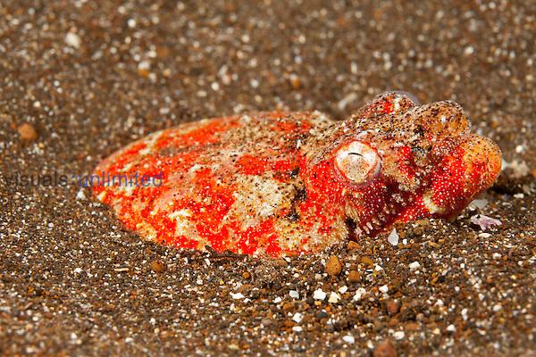 Henshaw's Snake Eel head (Brachysomophis henshawi), Hawaii, USA.