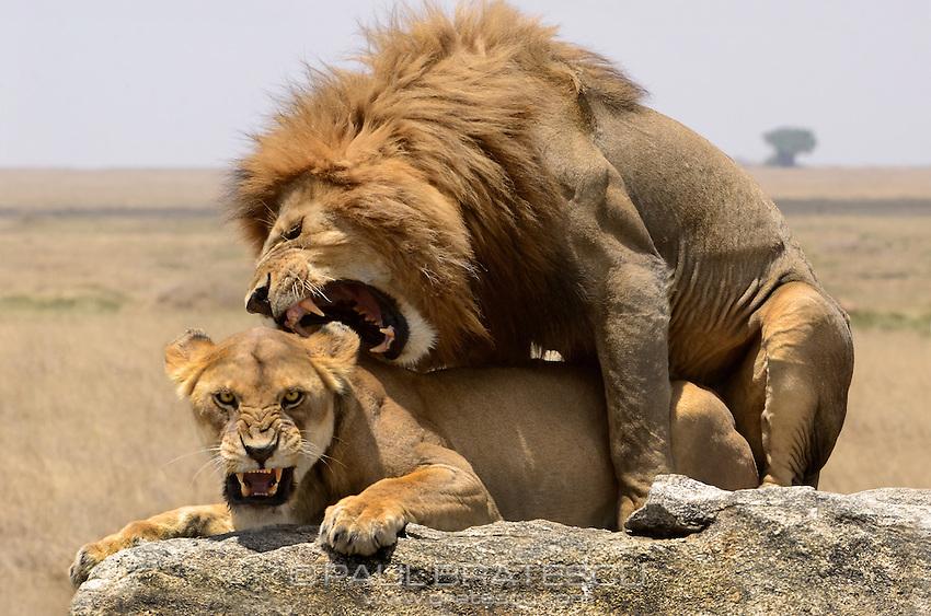 Male and Female Lions Serengeti