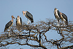 Marabou Stork, Leptoptilos crumeniferus, group on perched in treetop, Lake Awasa, Ethiopia, five, 5, Africa