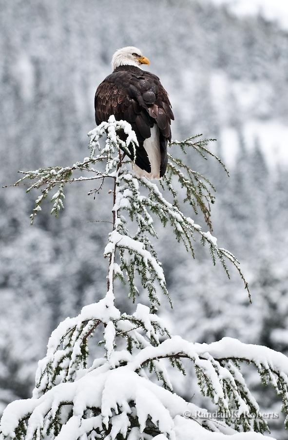 Bald Eagle, near Chilkoot Lake, Haines, Alaska