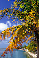 Coconut Palm tree, blue sky, ocean water, Florida tropical plant tree, nice warm light, sunny day. Tropics.