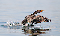 Cormorant takes off, Little Harbor, New Castle NH