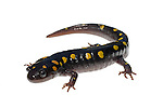 Spotted Salamander (Ambystoma maculatum)
