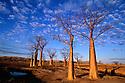 Kimberley, Australia --- Boab Trees on Kimberley Plateau --- Western Australia