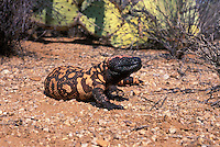Gila Monster (Heloderma suspectum); Sonoran Desert, Arizona