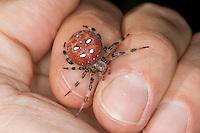 """Vierfleck-Kreuzspinne, Vierfleckkreuzspinne, Spinne auf der Hand, """"Keine Angst vor Spinnen!"""", Weibchen, Kreuzspinne, Araneus quadratus, fourspotted orbweaver, Araneidae, Radnetzspinnen, Kreuzspinnen, orbweavers, orb-weaving spiders"""