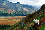 Dall Sheep on mountainside, Alaska