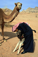 "Jordan. Wadi Rum.The Wadi Rum is a large, beautiful and deserted area where bedouins live under tents. A man dressed in traditionnal bedouin clothes -a long dress "" djellaba"" and a turban on the head - kiss a young camel. The baby camel stays close to its mother which looks after its child. The man works as a tourist guide. © 2002 Didier Ruef"