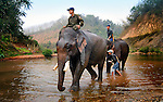 Asian elephants (elephas maximus)leave the river after their morning bath with their mahout at Pak Lai, Laos.