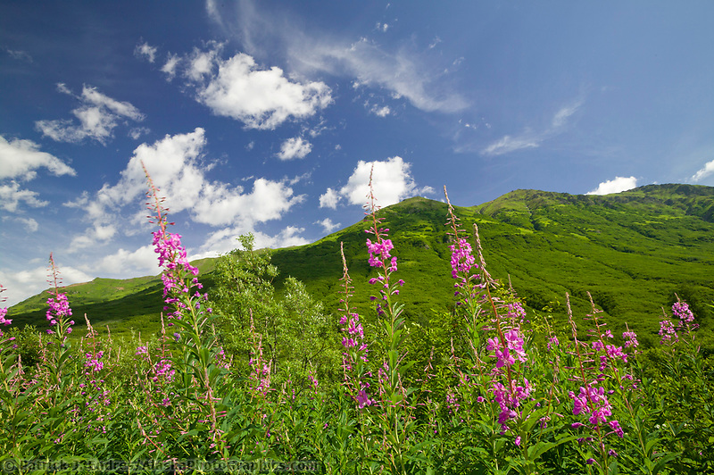 Fireweed in summer bloom near Hatcher Pass, Alaska