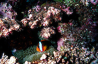 FISH<br /> Anemonefish With Anemone In Crevasse<br /> Also known as clownfish, anemonefish  and certain damselfish are the only species of fishes that can avoid the potent poison of a sea anemone.