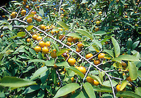 Diospyrus montana in fruit Mountain persimmon native plant American, ripe orange fruits