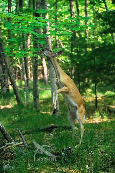 White-tail deer (Odocoileus virginianus) doe feeding on tree leaves.  Summer.  Upper Mid-west.