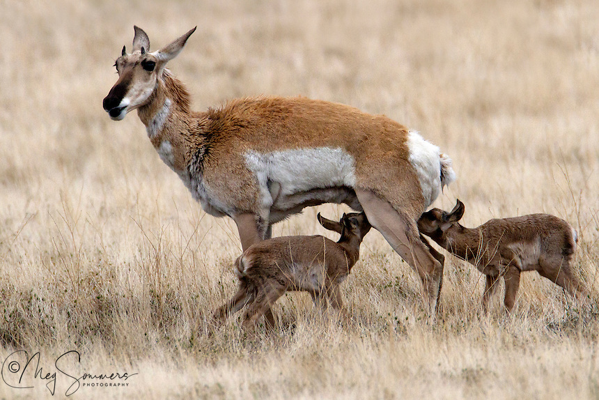 A newborn pronghorn (Antilocapra americana) might weigh 2-4 kg, most commonly 3 kg. In their first 21-26 days, a fawn spends time hiding in vegetation. Fawns interact with their mothers for 20-25 minutes a day and this continues even when the fawn joins a nursery. The females nurse, groom, and lead their young to food and water as well as keep predators away from them. Males are weaned 2-3 weeks earlier than females. The longevity is typically up to 10 years, rarely 15 years.