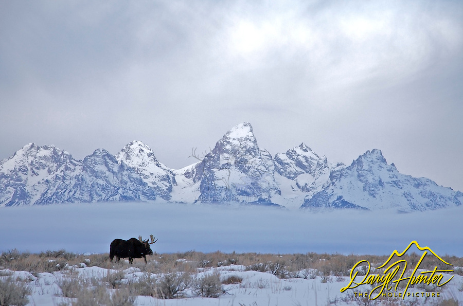 Bull Moose strolls through Antelope Flats in under a stormy sky in Grand Teton National Park