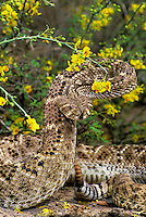 467010006 a wild western diamondback rattlesnake crotalus atrox coiled in defensive threat position among flowering native plants while sensing environment with tongue in the rio grande valley texas