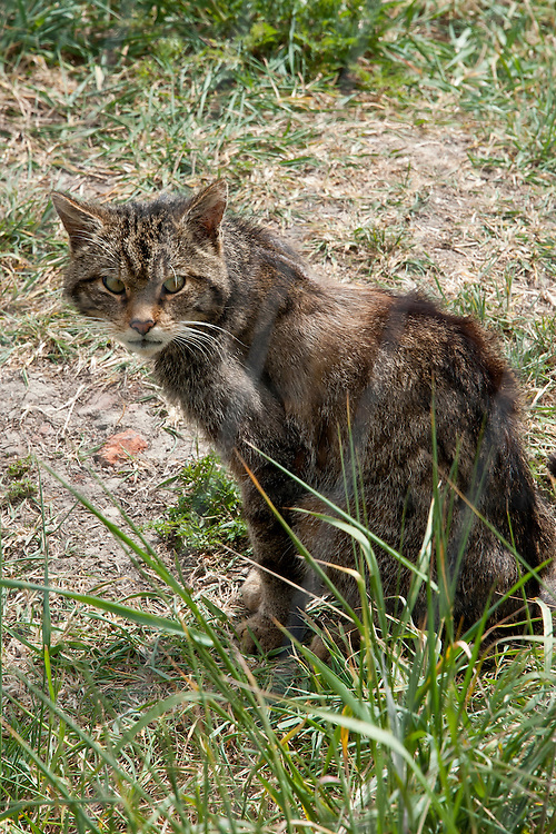 Scottish wildcat (Felis silvestris), late May. Britain's only wild member of the cat family. Once common throughout England, Scotland and Wales, it is now found only in the Highlands of Scotland.