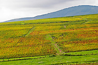 Vineyard. Morgon. Beaujolais, Burgundy, France