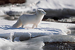 Arctic Fox, Arctic North America