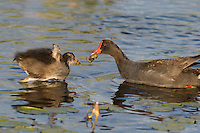 559500008 common gallinules gallinula galeata or common moorhens gallinula chloropus wild texas.Adult Feeding Chick.Anahuac National Wildlife Refuge, Texas