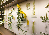 Display case with Bush Poppy (Dendromecon rigida) The Ware Collection of Blaschka Glass Models of Plants Exhibit in Harvard Museum of Natural History