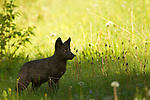 An eleven-week-old wolf pup stands in the wet grass of early morning in Banff National Park, Alberta, Canada.