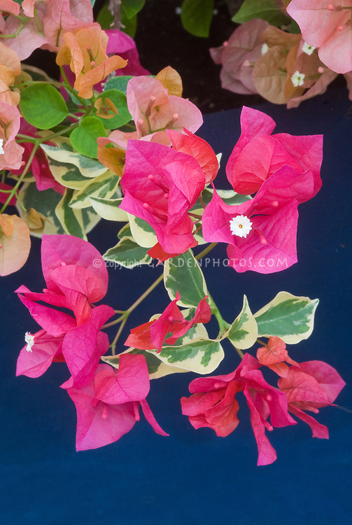 Bougainvillea 'Raspberry Ice&rsquo; variegated foliage with red flowers