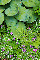 Pretty shade garden of Lamium maculatum in flower and hosta and fern in shade garden