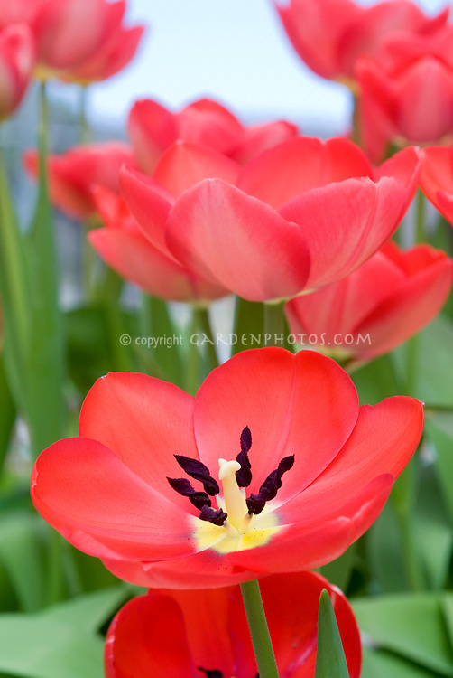 Tulip 'Toronto' Tulipa gregii hybrid