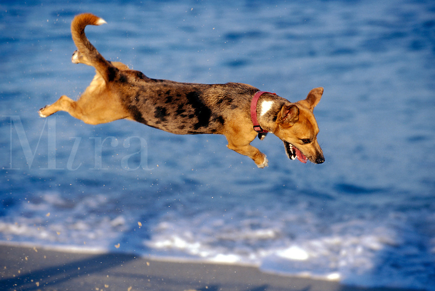 Mexico, Baja California, San Jose del Cabo, airborne dog. PR available.<br />